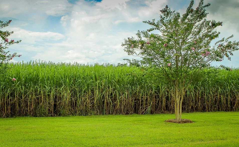 champs canne à sucre