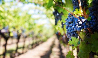 La cure de raisin bio : détox de l'automne