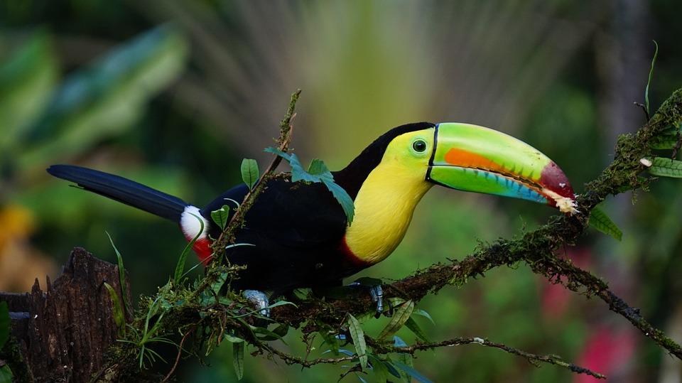 costa rica oiseau